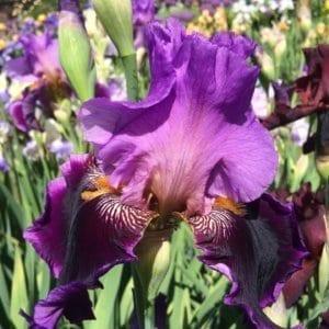 135_violet_turner_irisjardin_jardindesiris