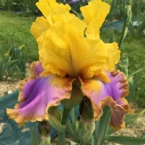 239_crazy_in_love_jardin_jardindesiris