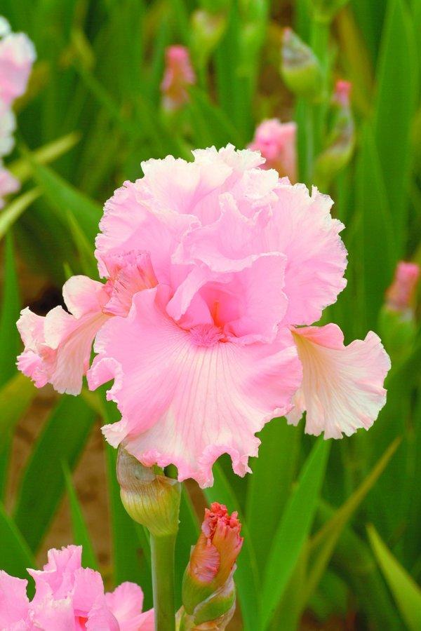 el25_june_krausse_edition_limitee_jardindesiris
