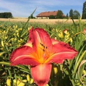 h146_brillant_cherry_lys_hemerocalle_jardindesiris