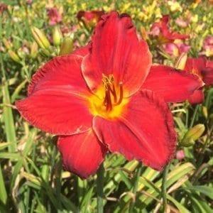h59_scarlok_lys_hemerocalle_jardindesiris