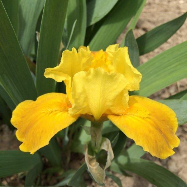 n07_gleaming_gold_nain_jardindesiris