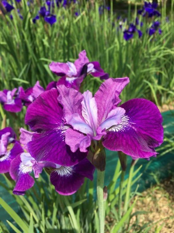 sb27_lady_vanessa_jardin_jardindesiris