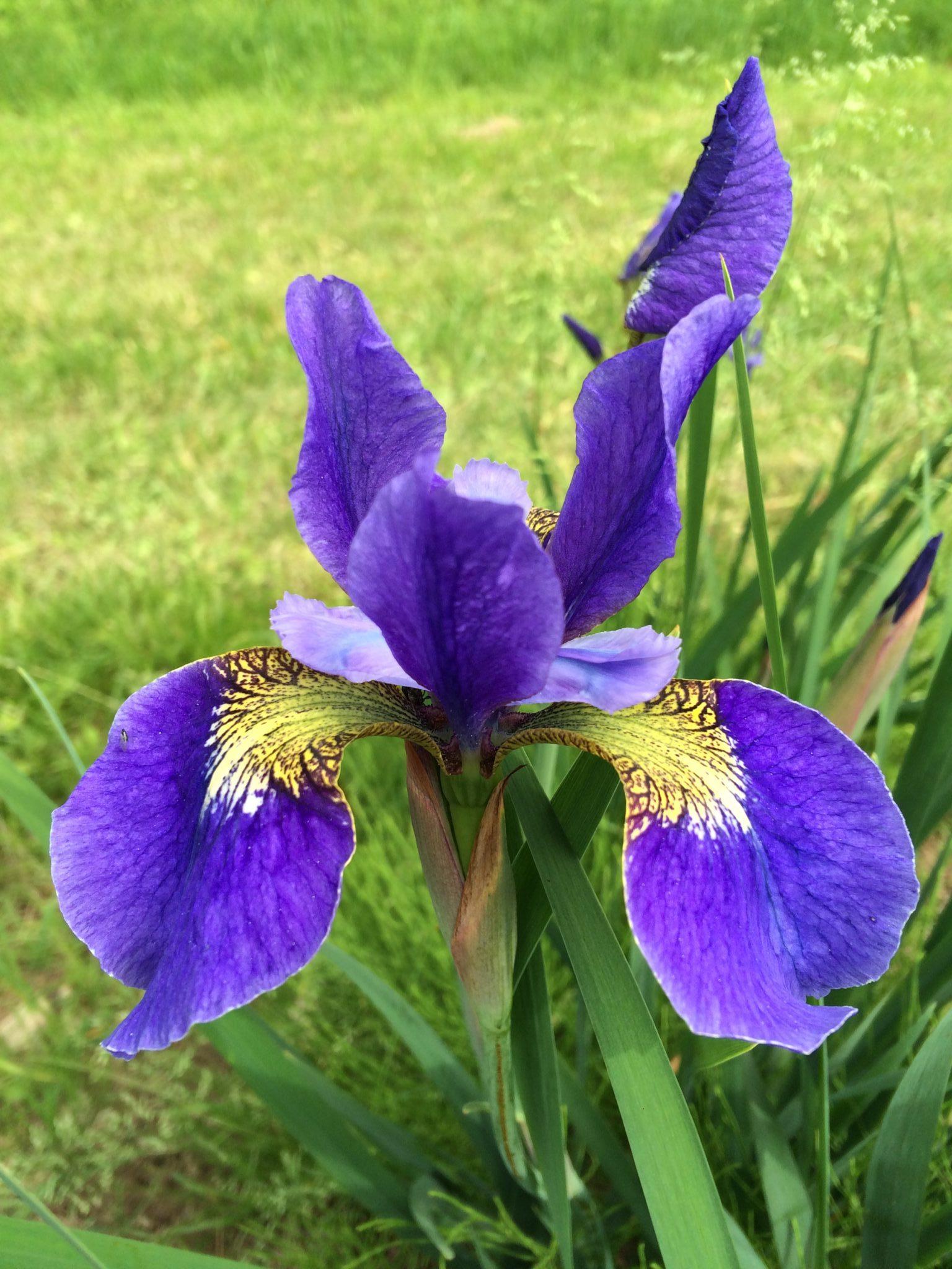 sb28_lucky_lilac_siberica_jardindesiris
