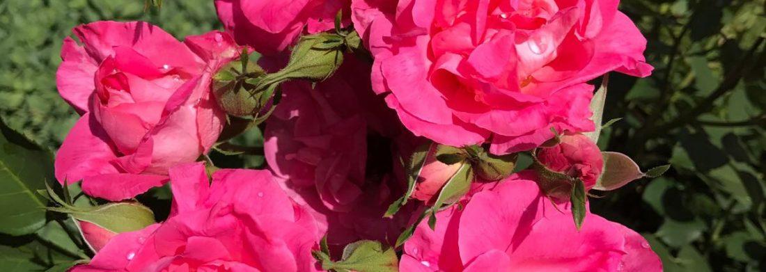 Roses en fleur de couleur rose