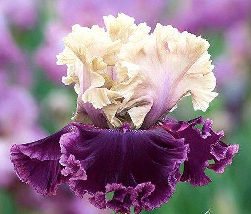 nv22_but_darling_nouveaute_jardindesiris