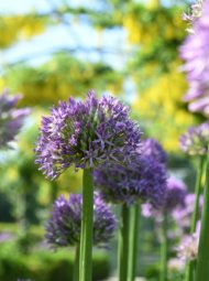 allium 190x255 - Alliums