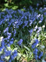 blubells2 190x255 - Jacinthe bleues
