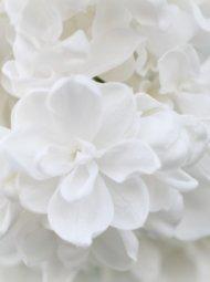 hortensia 190x255 - Hortensia