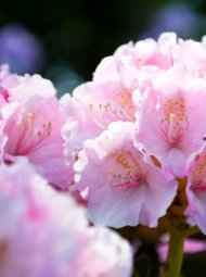 rhododendron 190x255 - Rhododendrons