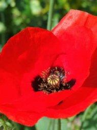72 fleur de coquelicot rouge giverny france002 190x255 - Coquelicot