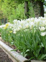 Nos tulipes blanches dans le jardin de Muni.