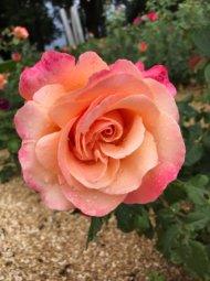 IMG 3507 190x255 - Roses