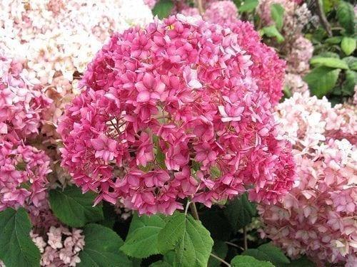Hortensia rose en fleurs.