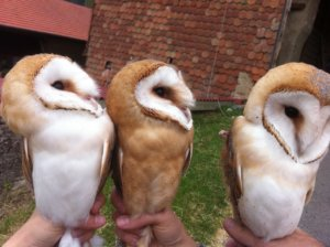 IMG 1346 300x224 - Presence of researchers working on the Barn Owls at the Castle