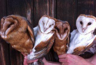 Quatre chouettes effraie de couleur marron et blanche.