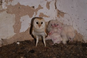 Unknown 5 300x201 - Presence of researchers working on the Barn Owls at the Castle