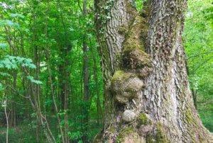 Le Roi Lézard en pleine forêt.