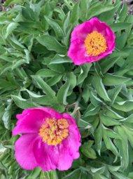 Pivoines rose dans le jardin de Daria.