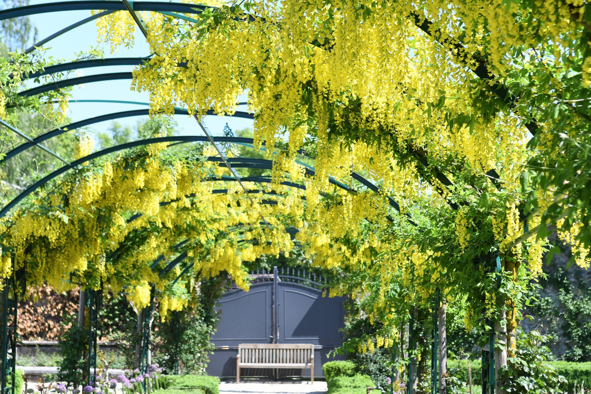 Le tunnel laburnum jaune vif dans le jardin de Doreen.
