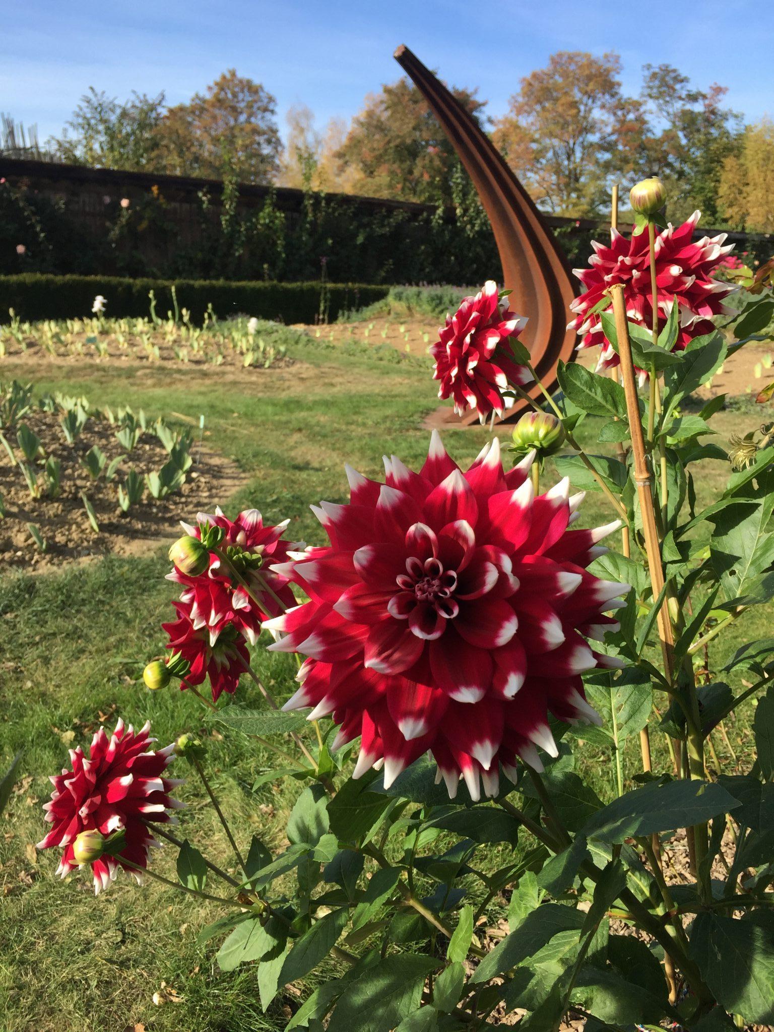 Dahlias rouge et blanche du jardin de Doreen.