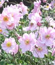 Anemone hybrids rose en fleurs.