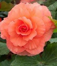 Begonias rose pêche.