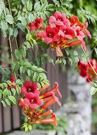 Campsis radicans orange.