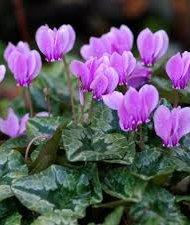 Cyclamen hederofolium violette.