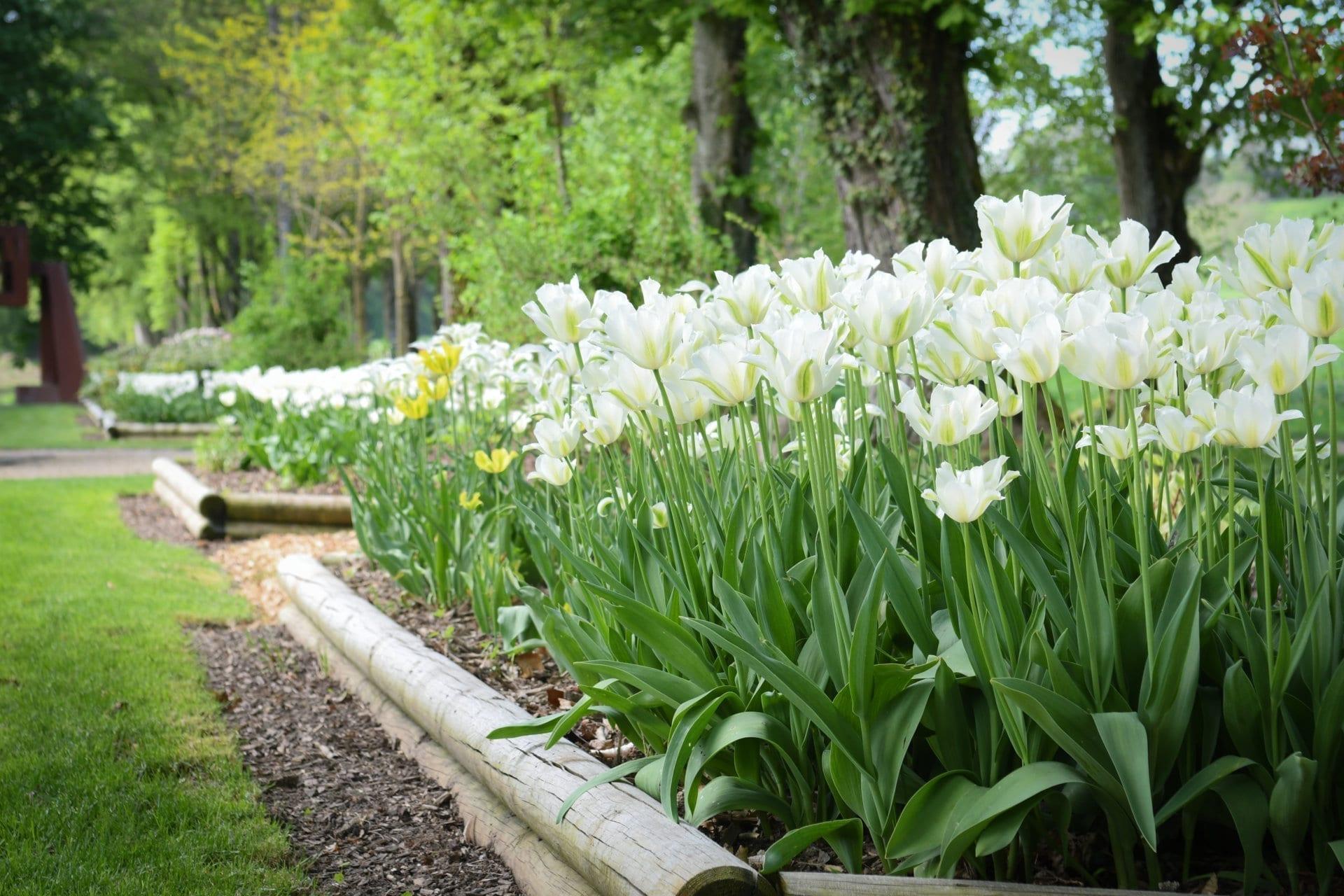 Tulipes blanche dans le jardin de Daria.