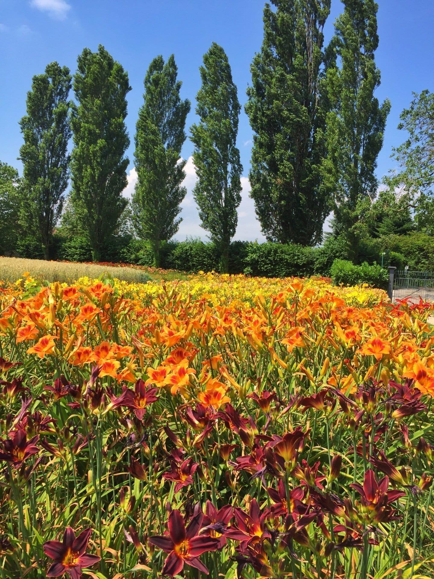 Champs de lys-hémérocalles de couleurs vives jaunes, rouge et orange en plein mois de juillet.