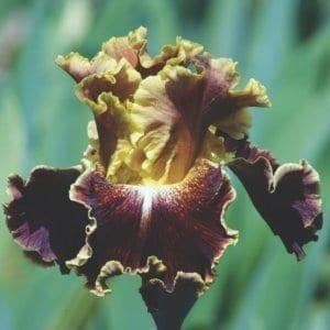 Gros plan sur un iris jaune et rouge brun.