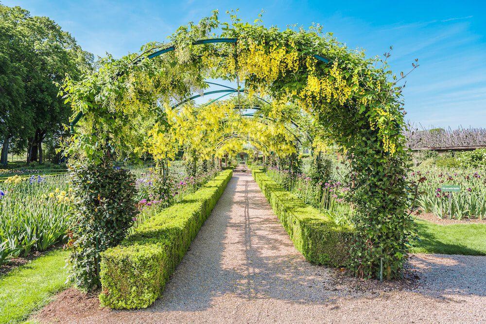 Le laburnum tunnel du jardin.