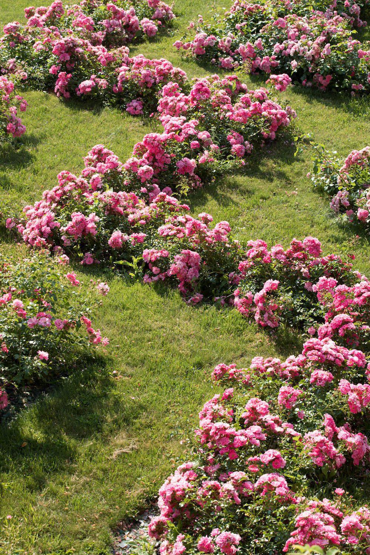 Un zig zag de rosier rose.