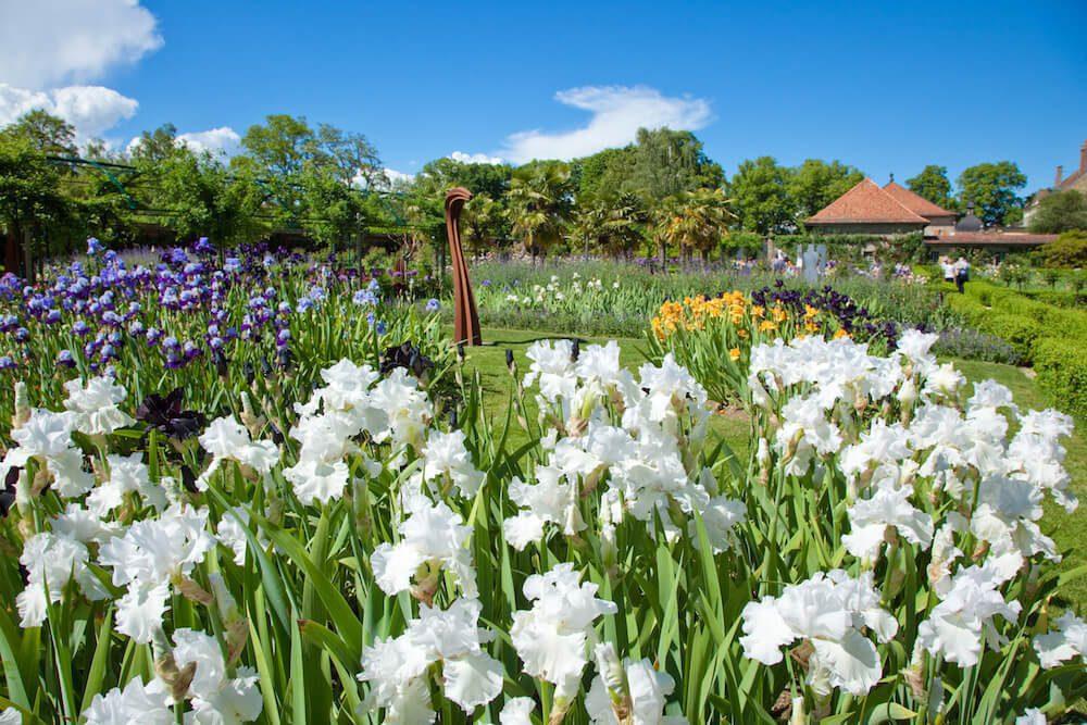 Les iris du jardin de Doreen.