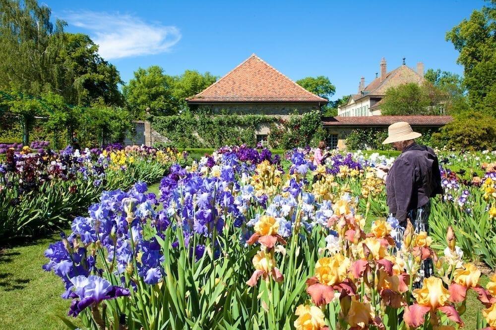 Explosion de couleurs dans la plantation d'iris du jardin de Doreen.