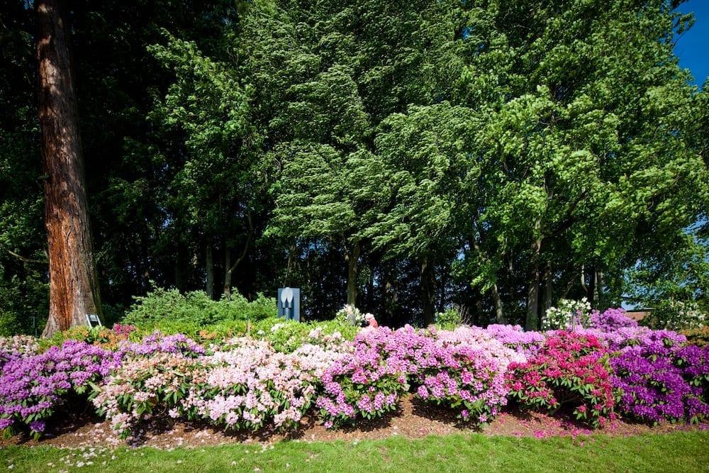 Gros massif de rhodos en fleurs.