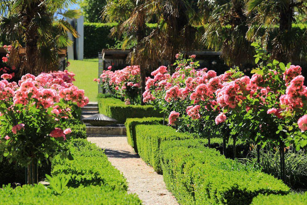 Allée de rosiers roses du jardin de Doreen.