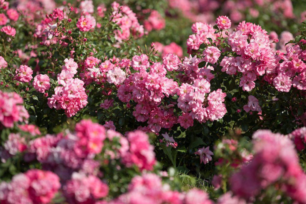 Gros plan de rosiers roses.