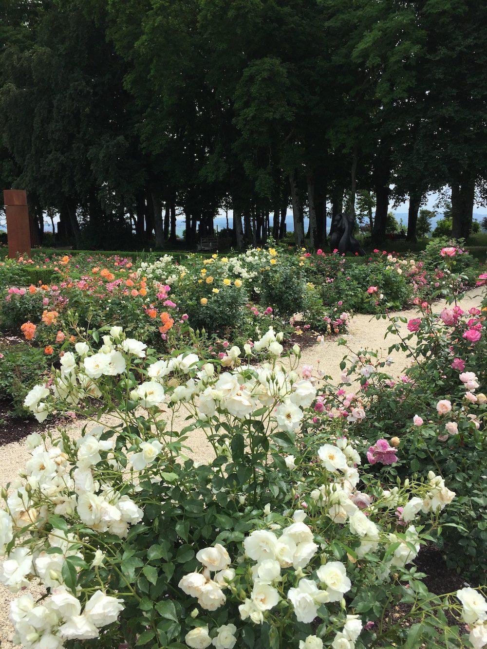 Allée des rosiers fleuries.