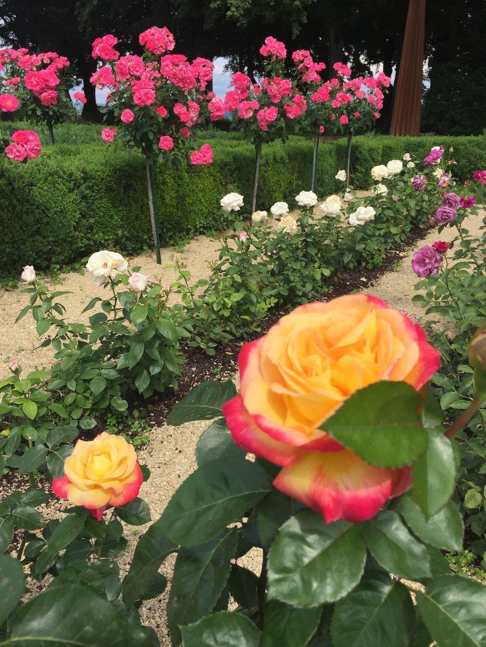 Gros plan des rosiers blanc, rose et orange.