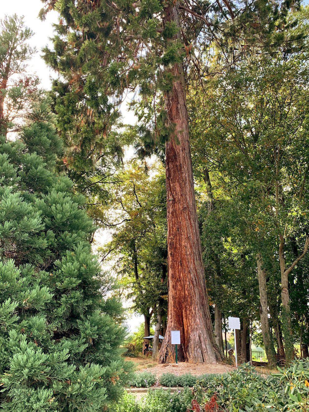 Sequoia faisans partie de la balade des arbres.