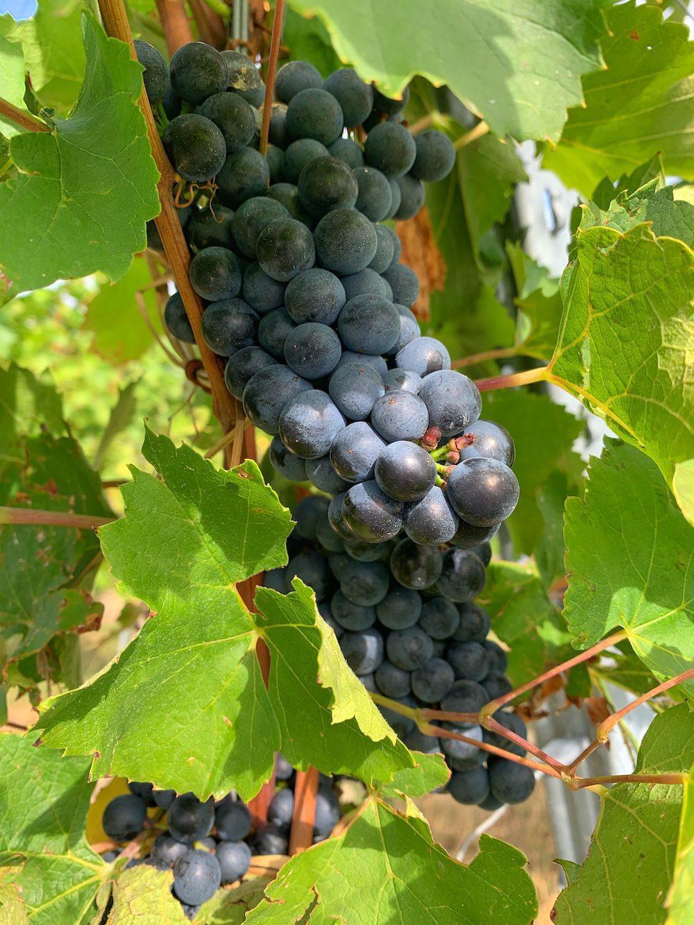 Gros plan sur une grapes de raisin rouge.
